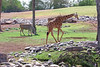 AZ-Phoenix-Zoo-Reticulated Giraffe-2006-07-04-0003