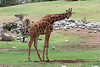 AZ-Phoenix-Zoo-Reticulated Giraffe-2006-07-04-0004