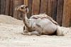AZ-Phoenix-Zoo-Wildlife World-Dromedary Camel-2007-07-02-0002