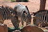 AZ-Phoenix-Zoo-Plains Zebra-2007-05-27-0002