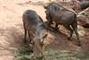 AZ-Phoenix-Zoo-Warthog-2006-07-04-0001