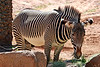 AZ-Phoenix-Zoo-Plains Zebra-2007-05-27-0003