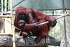 AZ-Phoenix-Zoo-Orangutan-2006-07-04-0001