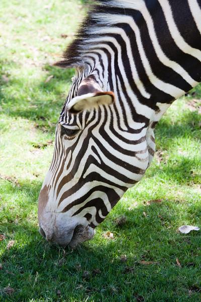 Zebra at the Zoo.
