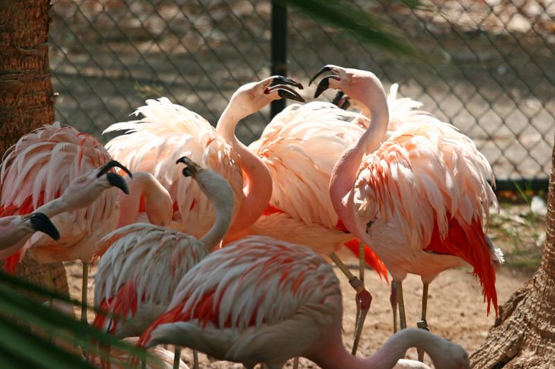 AZ-Phoenix-Zoo-American Flamingo-2006-07-04-0003