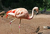 AZ-Phoenix-Zoo-American Flamingo-2007-05-27-0001