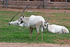 AZ-Phoenix-Zoo-Wildlife World-Arabian Oryx-2006-07-02-0002