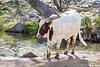 Watusi Cattle