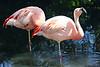 AZ-Phoenix-Zoo-American Flamingo-2007-05-27-0004