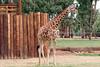 AZ-Phoenix-Zoo-Wildlife World-Reticulated Giraffe-2006-07-02-0001