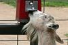 AZ-Phoenix-Zoo-Wildlife World-Petting Area-2006-07-02-0004