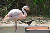 AZ-Phoenix-Zoo-American Flamingo-2006-07-04-0001