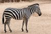 AZ-Phoenix-Zoo-Wildlife World-Plains Zebra-2006-07-02-0002
