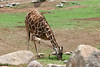 AZ-Phoenix-Zoo-Reticulated Giraffe-2006-07-04-0005