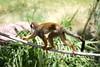 AZ-Phoenix-Zoo-Monkey-2006-07-04-0004