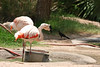 AZ-Phoenix-Zoo-American Flamingo-2006-07-04-0002