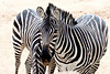 AZ-Phoenix-Zoo-Wildlife World-Plains Zebra-2006-07-02-0005