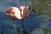 AZ-Phoenix-Zoo-American Flamingo-2007-05-27-0005