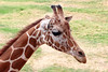 AZ-Phoenix-Zoo-Wildlife World-Reticulated Giraffe-2006-07-02-0002