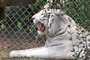 AZ-Phoenix-Zoo-Wildlife World-White Bengal Tiger-2006-07-02-0001