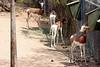 AZ-Phoenix-Zoo-Mhorr Gazelle-2006-07-04-0003