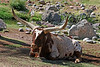AZ-Phoenix-Zoo-Watusi Cattle-2007-05-27-0003