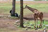 AZ-Phoenix-Zoo-Reticulated Giraffe-2006-07-04-0001