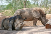 AZ-Phoenix-Zoo-Rhinoceros-2006-07-04-0001