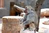 AZ-Phoenix-Zoo-Baboon-2006-07-04-0001