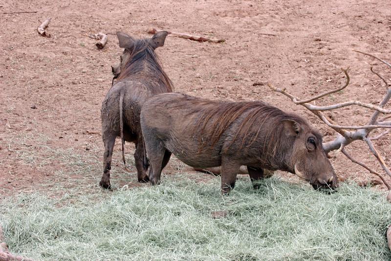AZ-Phoenix-Zoo-Wildlife World-Warthog-2006-07-02-0002