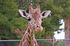 AZ-Phoenix-Zoo-Wildlife World-Reticulated Giraffe-2006-07-02-0003