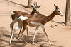 AZ-Phoenix-Zoo-Mhorr Gazelle-2006-07-04-0001