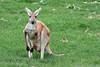 AZ-Phoenix-Zoo-Wildlife World-Red Kangaroo-2006-07-02-0002