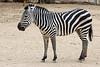 AZ-Phoenix-Zoo-Wildlife World-Plains Zebra-2006-07-02-0003