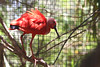 AZ-Phoenix-Zoo-Scarlet Ibis-2006-07-04-0001