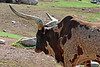 AZ-Phoenix-Zoo-Watusi Cattle-2007-05-27-0002
