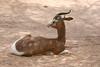 AZ-Phoenix-Zoo-Mhorr Gazelle-2006-07-04-0006