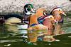 Mandarin & Wood Ducks
