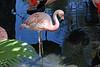AZ-Phoenix-Zoo-American Flamingo-2007-05-27-0002