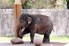 AZ-Phoenix-Zoo-Elephant-2006-07-04-0002