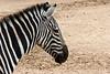 AZ-Phoenix-Zoo-Wildlife World-Plains Zebra-2006-07-02-0001