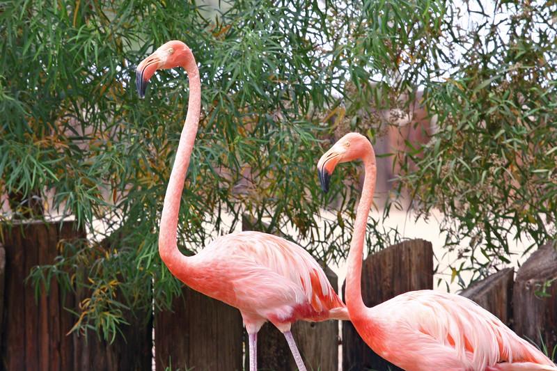 AZ-Phoenix-Zoo-Wildlife World-American Flamingo-2006-07-02-0002