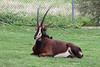 AZ-Phoenix-Zoo-Wildlife World-Sable Antelope-2006-07-02-0002