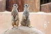 AZ-Phoenix-Zoo-Wildlife World-Slender Tailed Meerkat-2006-07-02-0001