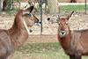 AZ-Phoenix-Zoo-Wildlife World-Defassa Waterbuck-2007-07-02-0002