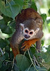 V-AZ-Phoenix-Zoo-Monkey-2007-05-27-0001