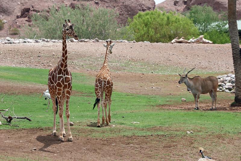 AZ-Phoenix-Zoo-Reticulated Giraffe-2006-07-04-0007
