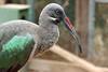 AZ-Phoenix-Zoo-Wildlife World-Hadeda Ibis-2006-07-02-0001