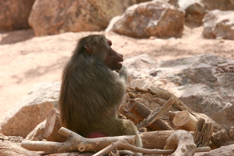 AZ-Phoenix-Zoo-Baboon-2006-07-04-0002
