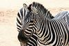 AZ-Phoenix-Zoo-Wildlife World-Plains Zebra-2006-07-02-0004